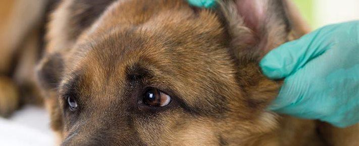 Veterinarian looking ear of a German shepherd dog,close up
