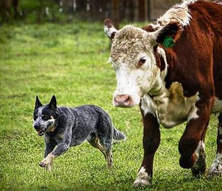 cane e bovino